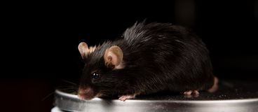 Obese mouse on scale Royalty Free Stock Image