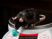 Obese mouse on scale. Obese mouse fed with junk food, for scientific research Royalty Free Stock Photography