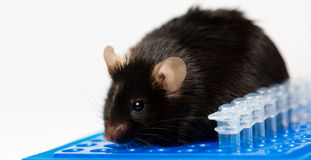 Obese mouse on tube rack. Obese mouse fed with junk food, for scientific research Stock Images