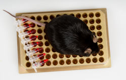 Obese mouse on tube rack Stock Photography