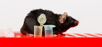 Obese mouse on tube rack Royalty Free Stock Image