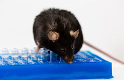 Obese mouse on tube rack Stock Photo