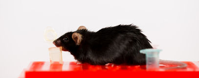 Obese mouse on tube rack Stock Photos