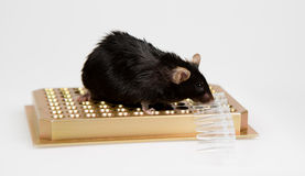 Obese mouse on tube rack Stock Images
