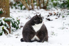 Obesicat playing in the snow Stock Image