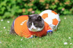 Obesicat van Persie. Random image of a fat cat, dressed as soccer player for the dutch national team is playing football in the garden in spring in the stock photography