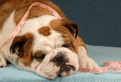 Obesidad o salud del perro Foto de archivo libre de regalías