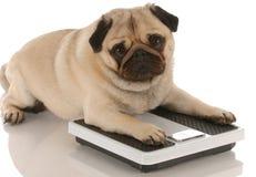 Obesidade ou aptidão do cão Foto de Stock Royalty Free