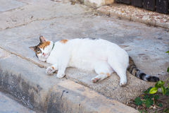 Obesity concept - white fat lazy cat in the street Royalty Free Stock Photo