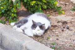 Obesity concept - white fat lazy cat in the street Royalty Free Stock Image