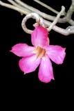Obesum Adenium стоковые фотографии rf