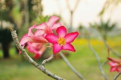 Obesum-Adeniumblumen im Garten für Hintergrund Stockfotografie