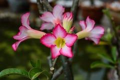Obesum d'Adenium et x28 ; Désert Rose ; Lis d'impala ; Faux Azalea& x29 ; Images stock