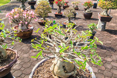 Obesum d'Adenium ou arbre de bonsaïs Photographie stock
