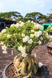 Obesum d'Adenium ou arbre de bonsaïs Images libres de droits