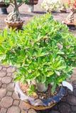 Obesum d'Adenium ou arbre de bonsaïs Image libre de droits
