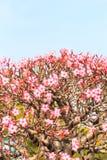Obesum d'Adenium ou arbre de bonsaïs Images stock