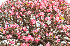 Obesum d'Adenium ou arbre de bonsaïs Photos libres de droits