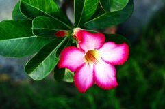 Obesum do Adenium Fotos de Stock Royalty Free