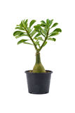 Obesum do Adenium & x28; Fosk & x29; Roem & as hastes de florescência herbáceas de Schult foto de stock royalty free