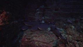 obesus del Triaenodon del tiburón del filón de la Blanco-extremidad en roca de la caldera del EL cerca de la isla de Sanbenedicto almacen de video
