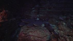Obesus Triaenodon καρχαριών σκοπέλων άσπρος-ακρών στο βράχο λεβήτων EL κοντά στο νησί Sanbenedicto από το αρχιπέλαγος Revillagige απόθεμα βίντεο