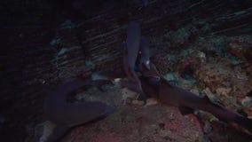 Obesus Triaenodon καρχαριών σκοπέλων άσπρος-ακρών στο βράχο λεβήτων EL κοντά στο νησί Sanbenedicto από το αρχιπέλαγος Revillagige φιλμ μικρού μήκους
