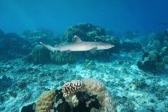 Obesus Triaenodon акулы рифа Whitetip Стоковое Изображение RF