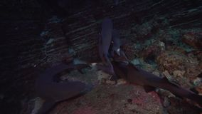 obesusen för Triaenodon för Vit-spets revhaj i El-kokkärl vaggar nära den Sanbenedicto ön från den Revillagigedo skärgården arkivfilmer