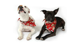 Obey. Happy dogs making funny faces on white background. Two Dogs, one white and one black stock photography