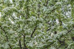 Obficie kwitnąć gałąź owocowy drzewo z białymi kwiatami tło mleczy spring pełne meadow żółty Wiosna, sezony, ogrodnictwo i ekolog obraz royalty free