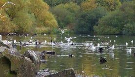 Obfitość na kaczkach na pennington błysku, fotografia nabierająca UK zdjęcia stock