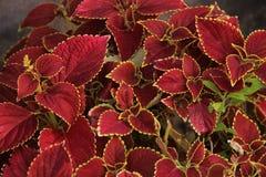 Obfitolistna czerwona roślina obrazy stock