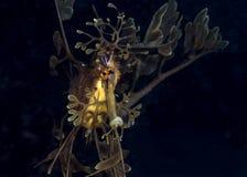 obfitolistny seadragon zdjęcie stock