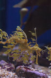 Obfitolistny seadragon, Phycodurus eques zdjęcia royalty free