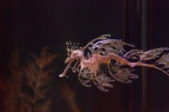 Obfitolistny seadragon, Phycodurus eques obrazy royalty free
