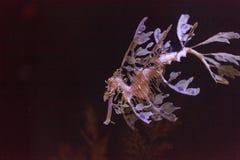 Obfitolistny seadragon, Phycodurus eques obraz stock