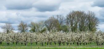 Obfity wiosny okwitnięcie w robiących manikiur śliwkowego drzewa sadach zbliża villeneuve-sur-lot, lot-et-garonne, Francja Obrazy Stock