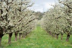 Obfity wiosny okwitnięcie w robiących manikiur śliwkowego drzewa sadach zbliża villeneuve-sur-lot, lot-et-garonne, Francja Obraz Royalty Free