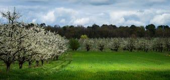 Obfity wiosny okwitnięcie w robiących manikiur śliwkowego drzewa sadach zbliża villeneuve-sur-lot, lot-et-garonne, Francja Obrazy Royalty Free