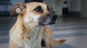 An Obidient Dog Royalty Free Stock Photos