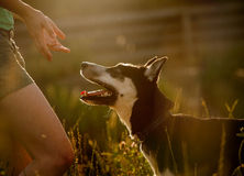 Obidient hond Royalty-vrije Stock Afbeelding