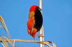 Obispo rojo, cielo azul. Imagen de archivo libre de regalías