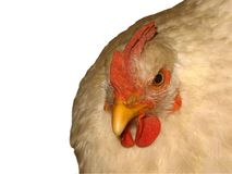 Chicken close-up. object on a white background. stock image
