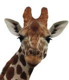 objet d'isolement par giraffe Photos stock
