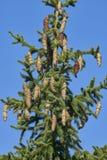 Objet du pin Cones Photos libres de droits