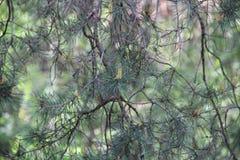 Objet du pin Cones Photo libre de droits