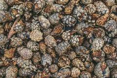 Objet du pin Cones Images libres de droits