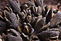 Objet du pin Cones Image libre de droits