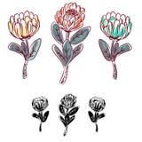 Objeto aislado flor del vector del Protea Fotografía de archivo